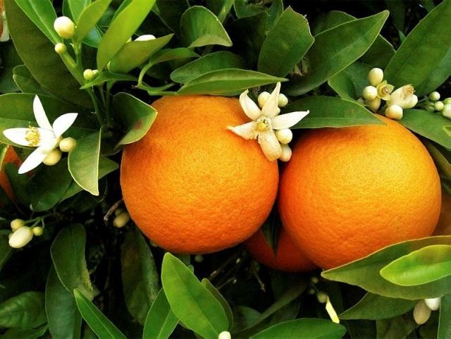 Portakal  Portakal deyince herkesin aklına C vitamini gelir. Ancak narenciye türü meyvelerin birçok faydası vardır. C vitamini kolajen üretimi için çok kritik olduğu için, portakal cildi hasardan korur ve görünümünü iyileştirir. Ayrıca bir orta boy portakal 80 kalori civarındadır. Portakalın dışındaki beyaz kabuğunu sakın soymayın. Bu kısım, bolca lif içerir ve bu sayede kolesterolü düşürüp kan şekeri seviyelerini düzenler.