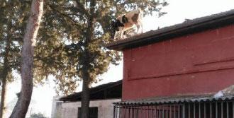 İnek Mezbahane Çatısına Çıktı
