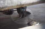 Hastane bahçesinde fare paniği