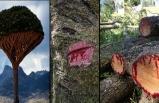Gövdesinden kan akıtan ağaç, görenleri şaşırtıyor