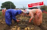 Patates üreticisine yağmur engeli