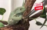 Minik kurbağanın inatçı hali kahkahaya boğdu