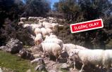 İzmir'de 83 koyunluk sürü hırsızlığı