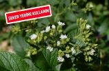Şekerin en doğalı: Stevia