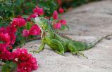 ABD'de 'iguanaları öldürün' çağrısı