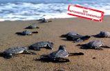 Uzmanlar uyardı: Caretta carettaları denize taşımayın!