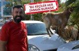 Araçların üzerinden beslenen keçiler dikkat çekti