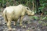 Malezya'daki son Sumatra gergedanı öldü! Sumatra gergedanının soyu tükendi mi?