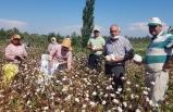 Ege'de pamuk hasadı başladı