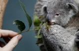 """Avusturalya'da """"koala savaşı"""" eyalet hükümetini ikiye böldü"""