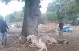 Çanakkale'de 13 koyun telef oldu