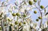 Zeytinyağı ile limonun sağlık için faydaları
