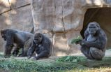 Gorillerin koronavirüs testi pozitif çıktı!