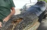ABD'de 3 metrelik timsah yakalandı