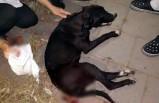 Magandaların vurduğu sokak köpeğine ameliyat