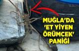 Muğla'da 'et yiyen örümcek' paniği