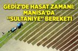 """Gediz'de hasat zamanı: Manisa'da """"Sultaniye"""" bereketi"""