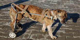 Felçli Köpeğe Tekerlekli Sandalye