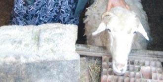 5 Kuzu Doğuran Koyun Şaşırttı