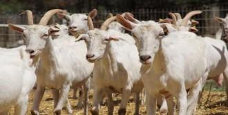 'Üniversiteli Keçiler' Yok Satıyor
