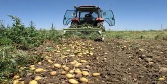 Büyükşehir Patates Alımına Başladı