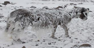Eşekler Buz Tutarsa...