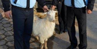 Kayıp Keçinin Sahibi Ortaya Çıktı