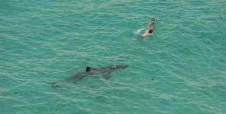 Köpekbalığı, Yüzücüyü Öldürdü