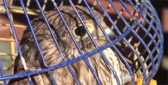Gözleri Dikilip, Bantlanan Kuşlar Doğaya Bırakıldı