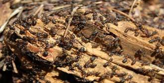 Karıncalar Dertlerini Anlatabiliyor