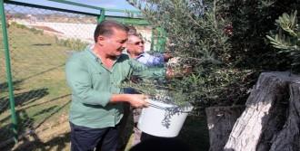 8 Asırlık Ağaçtan Zeytin Hasadı
