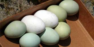 Bu Yumurtalar Görenleri Şaşırtıyor!