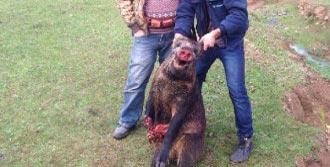 İki Günde 15 Yaban Domuzu Avladılar