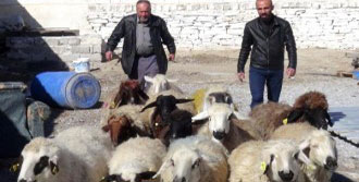 Vatandaşlar Birleşip Koyun Satın Alıyor