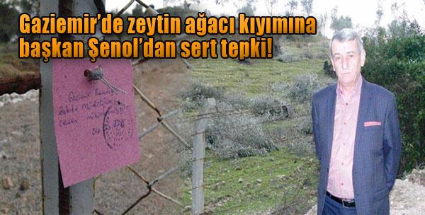 Zeytin Ağacı Kıyımını Belediye Başkanı Durdurdu