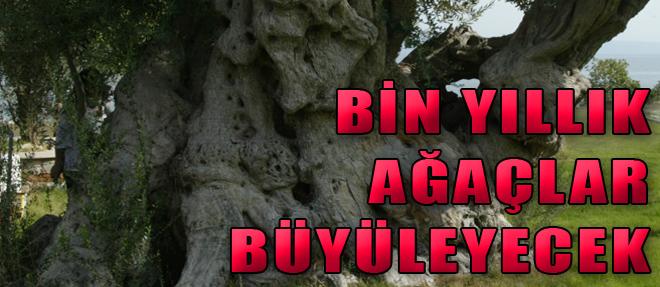 Bin Yıllık Ağaçlar Büyüleyecek