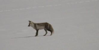 Aç Kalan Tilkilerin Kar Altında Fare Avı