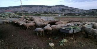 Ağılındaki 30 Koyunu Çalındı