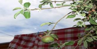 Amasya'da Meyve Veren Elma Ağacı, Çiçek Açtı