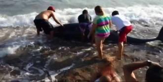 Yolunu Şaşıran Balinalar Sahile Vurdu