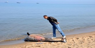 Bartın'da Ölü Yunus Kıyıya Vurdu