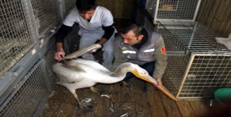 Pelikan, Tedavi Edilip Doğaya Bırakıldı