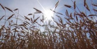 Buğdayda Rekolte Yüksek, Kalite Düşük