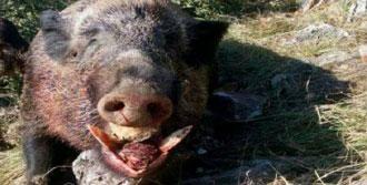 Orhangazi'de 150 Kiloluk Domuz Avlandı