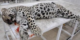 Leoparın Kimliği Belirlendi