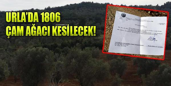 Urla'da 1806 Çam Ağacı Kesilecek