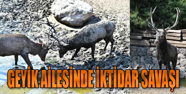 İzmir'deki Geyik Ailesinde İktidar Savaşı
