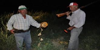 Çiftçilerden Davullu Domuz Önlemi