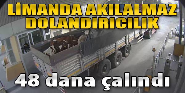Limanda Akılalmaz Dolandırıcılık: 48 Dana Çalındı