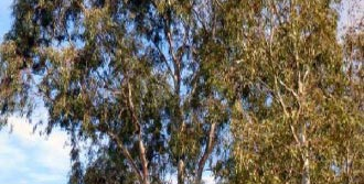 'Okaliptus'un Kökü Kazınmalı'
